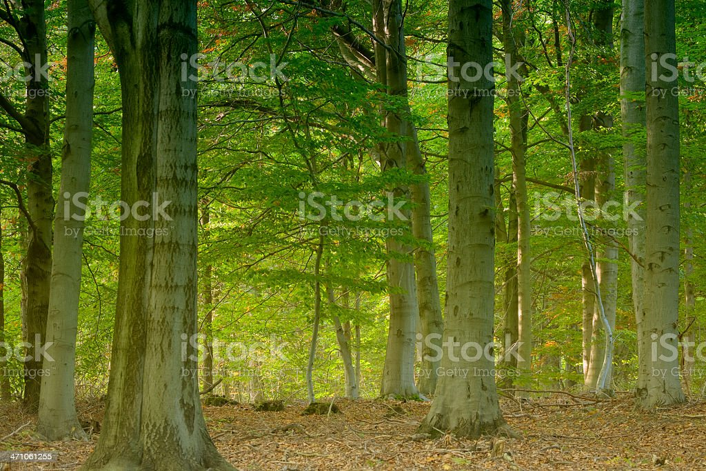 magical beech forest HDR royalty-free stock photo