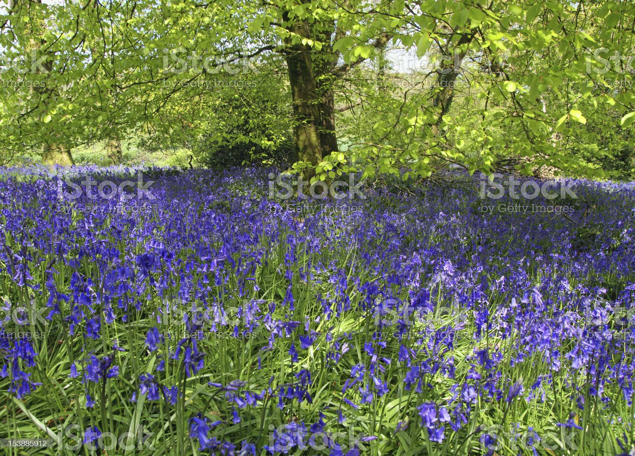 Magical bluebell woods in Dorset England. royalty-free stock photo