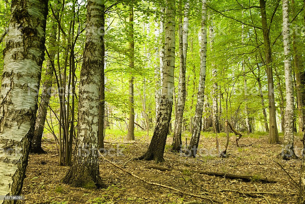 magical bright birch forest royalty-free stock photo