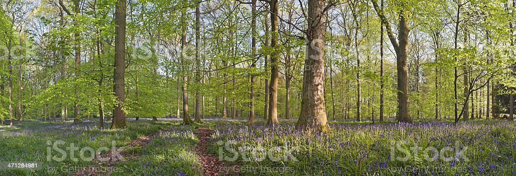 Magical forest and wild bluebells royalty-free stock photo