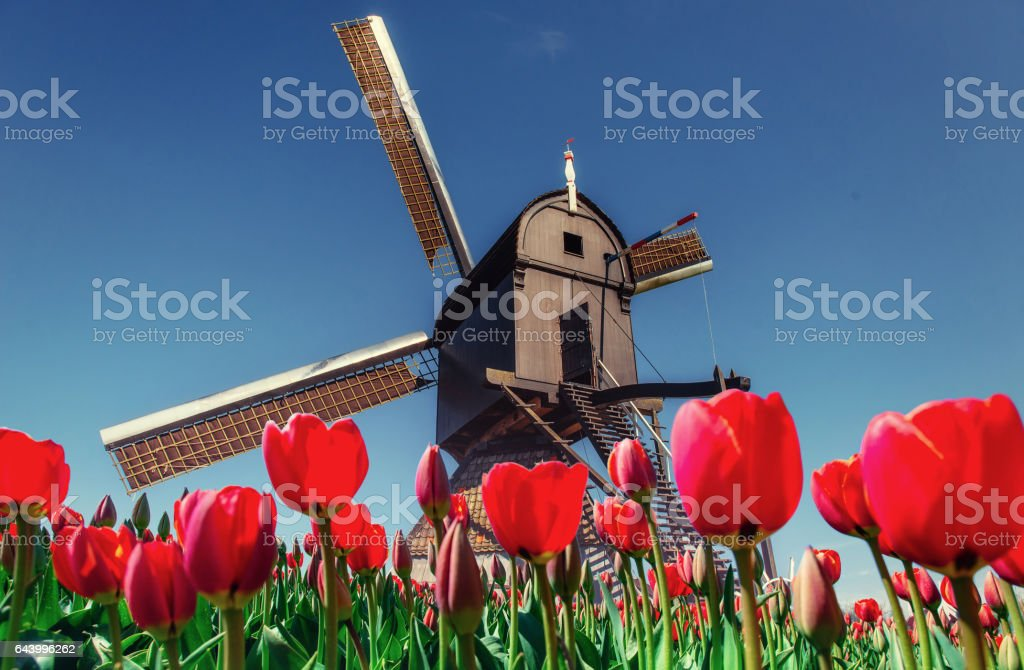 magical landscape of tulips and windmills in the Netherlands stock photo
