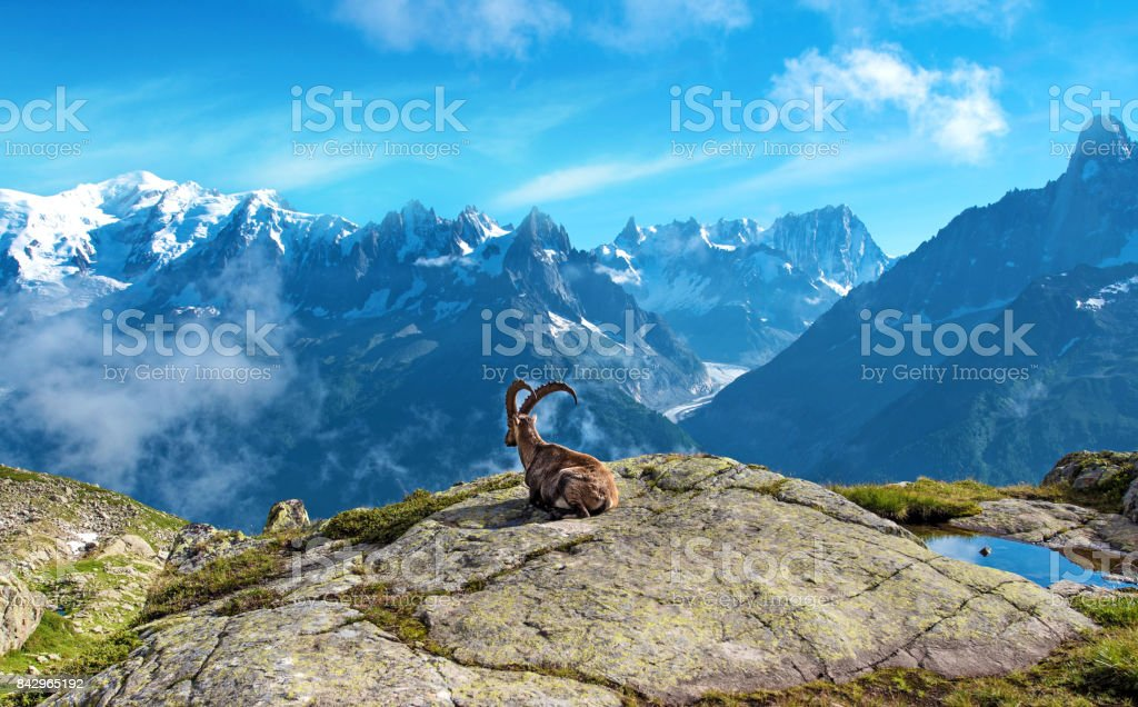 A magical landscape with mountain goat in the middle of the Alps