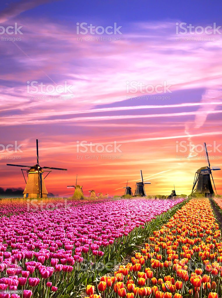 Magical landscapes with windmills and tulips in the Netherlands stock photo