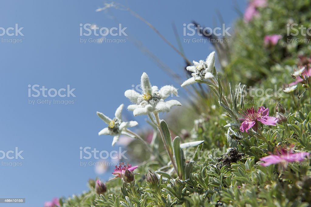 magical moments - just Edelweiss stock photo