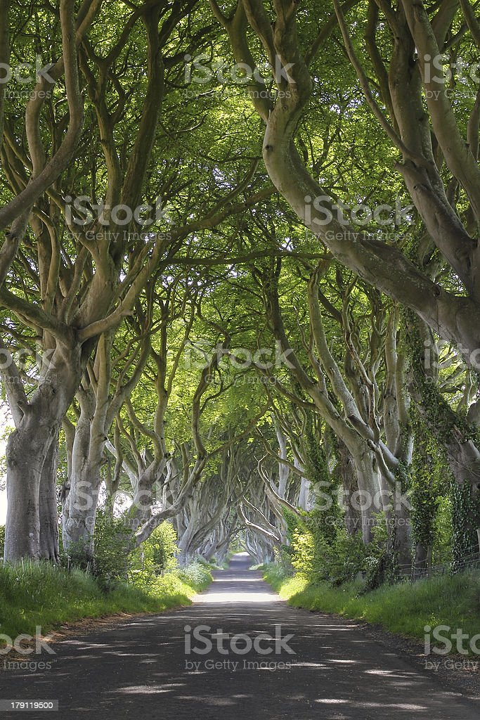 Magical woods of Dark Hedges royalty-free stock photo