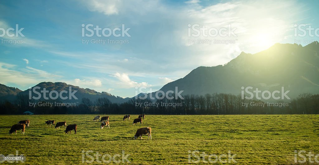 Magnificent Alpine landscape with cows stock photo