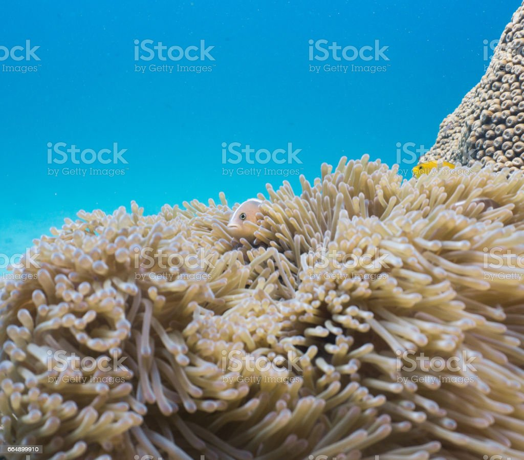 Magnificent Anemone (Heteractis magnifica) with Skunk Anemonefish (Amphiprion ephippium) Clownfish in Coral Reef Fragile Ecosystem Ocean Environment. stock photo