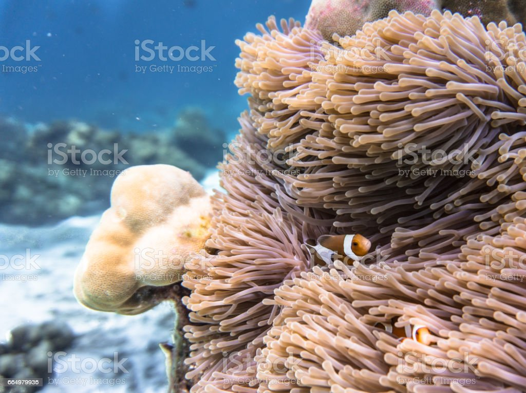 Magnificent Anemone (Heteractis magnifica) with Western Clownfish Anemonefish (Amphiprion ocellaris). Fragile Coral Reef Ecosystem Ocean Environment, Koh Haa, Andaman Sea, Krabi, Thailand. stock photo