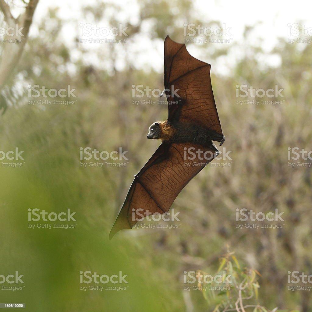 Magnificent Bat royalty-free stock photo