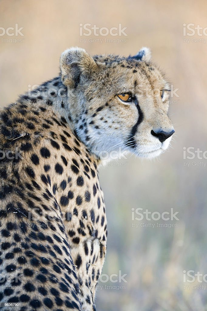 Magnificent Cheetah stock photo