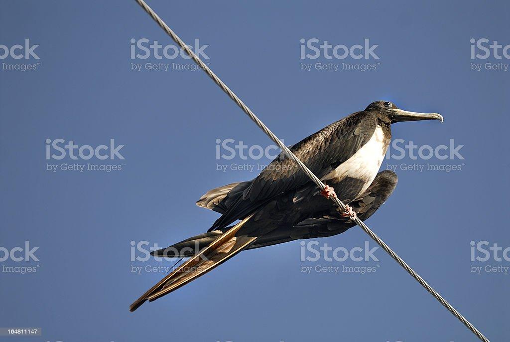 Magnificent Frigatebird royalty-free stock photo