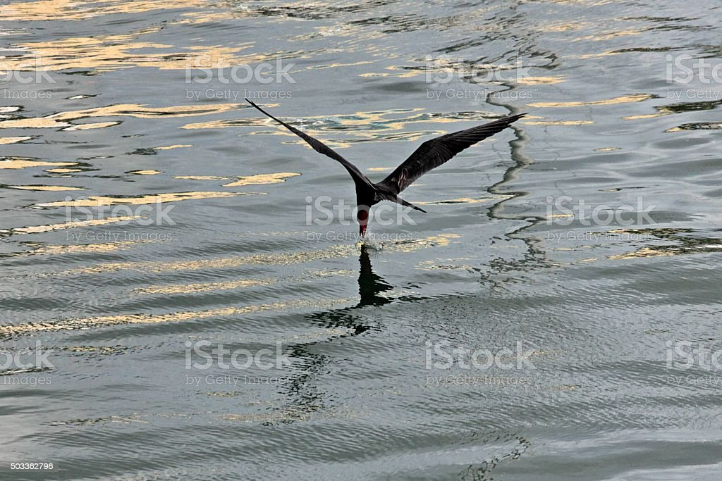 Magnificent frigatebird scooping a morsel from lagoon stock photo
