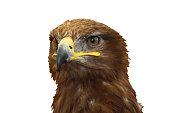 Magnificent golden eagle bird of prey raptor on white background