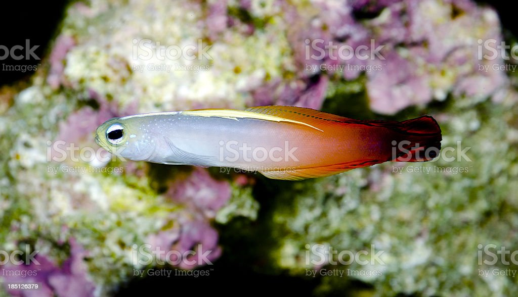 Magnificent Hover Goby stock photo