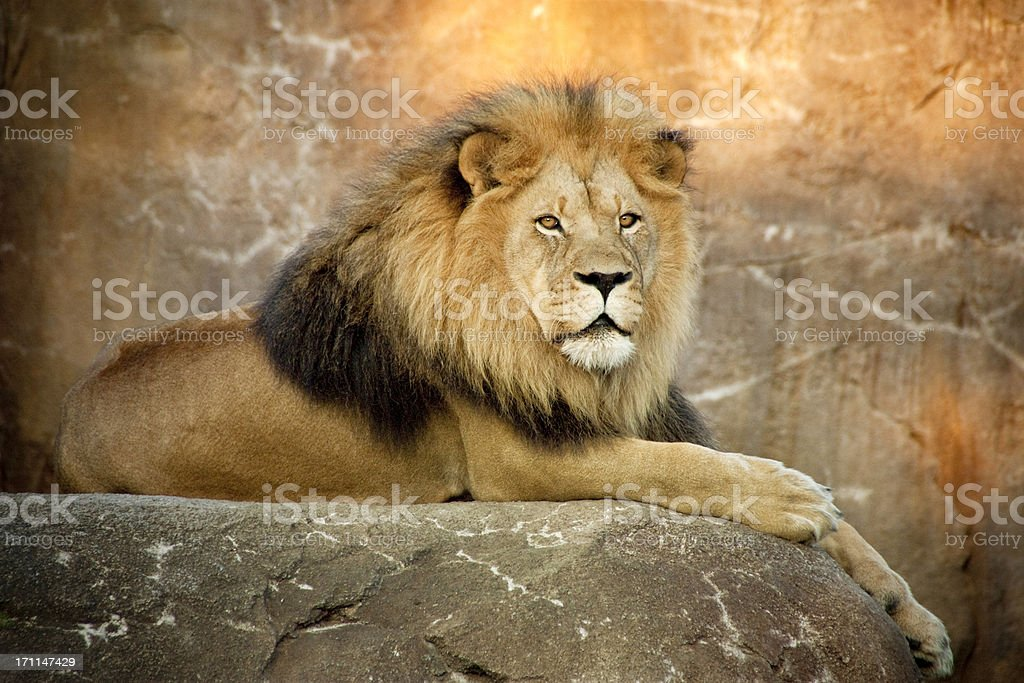 Magnificent Lion King of Beasts rests at sunset royalty-free stock photo