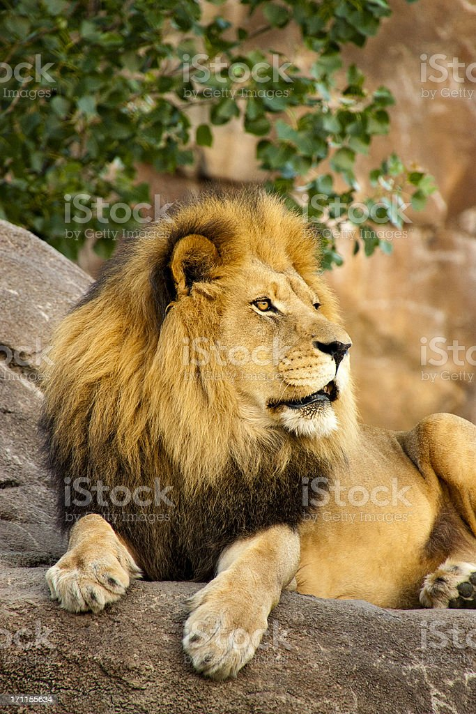 Magnifique Lion des bêtes avec très grand lit est située au coucher du soleil photo libre de droits