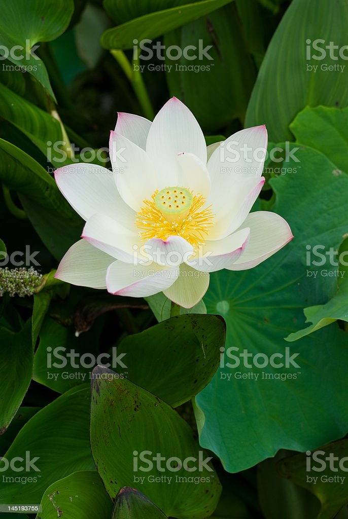 Magnificent Lotus Flower stock photo