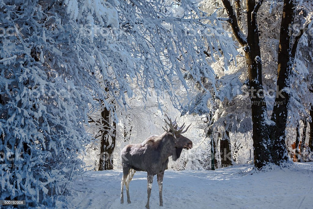 Magnificent Moose went for walk stock photo