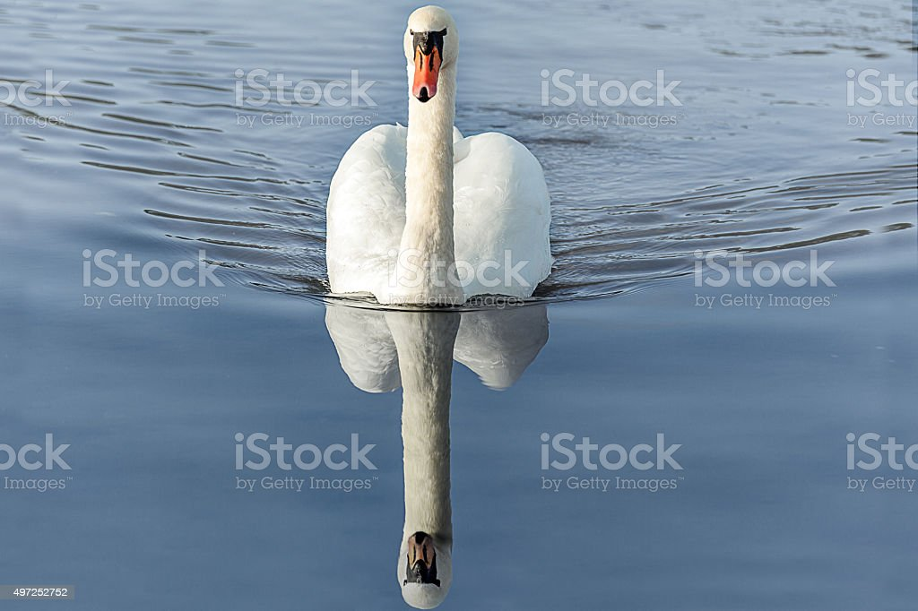 Magnificent swan stock photo