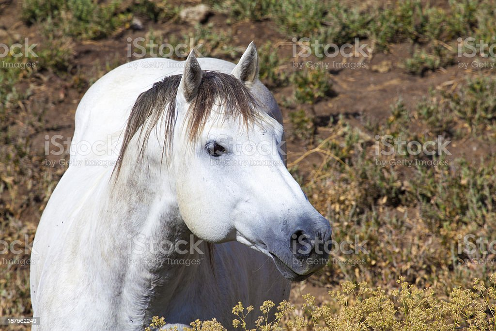 Magnificent wild white horse royalty-free stock photo