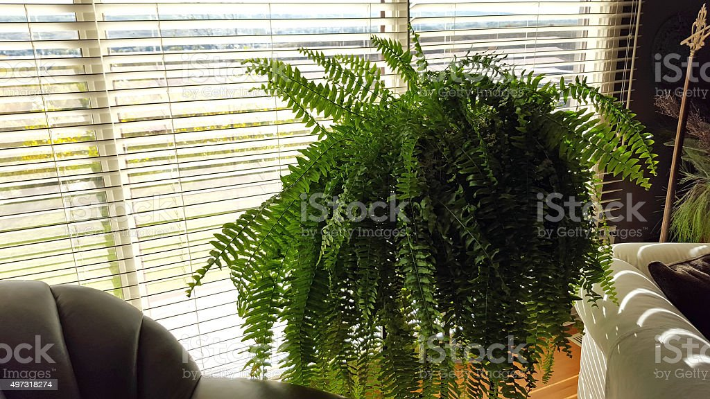 Magnificient Living Room Fern stock photo