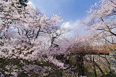 Magnificious cherry blossoms and bridges in full bloom