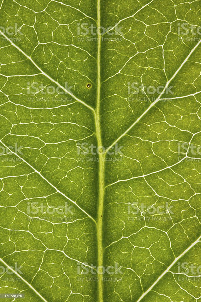 Magnified detail of an apple leaf with crib detail. royalty-free stock photo