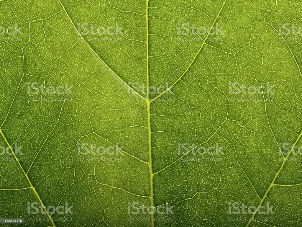 Magnified Maple leaf royalty-free stock photo