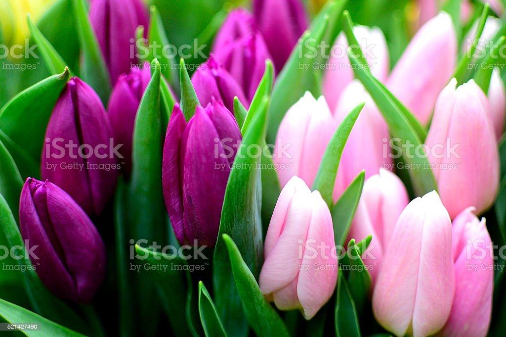 Magnifiques Tulipes en harmonie de couleurs stock photo