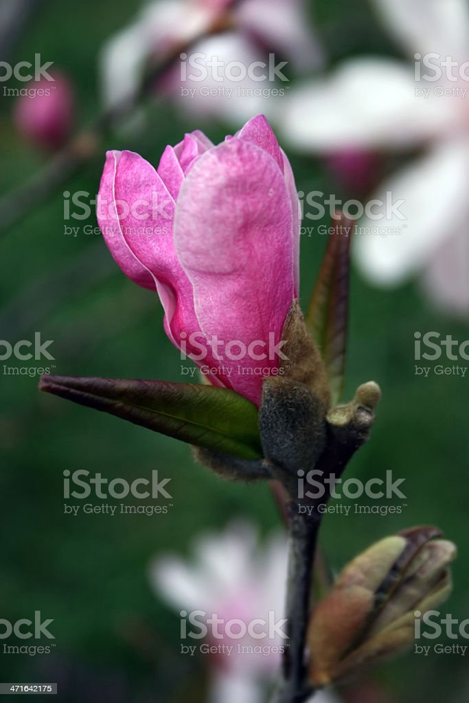Magnolia 1 royalty-free stock photo