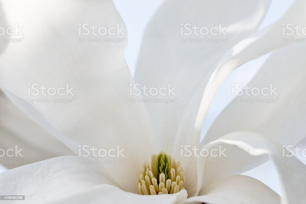 Magnolia abstract background stock photo