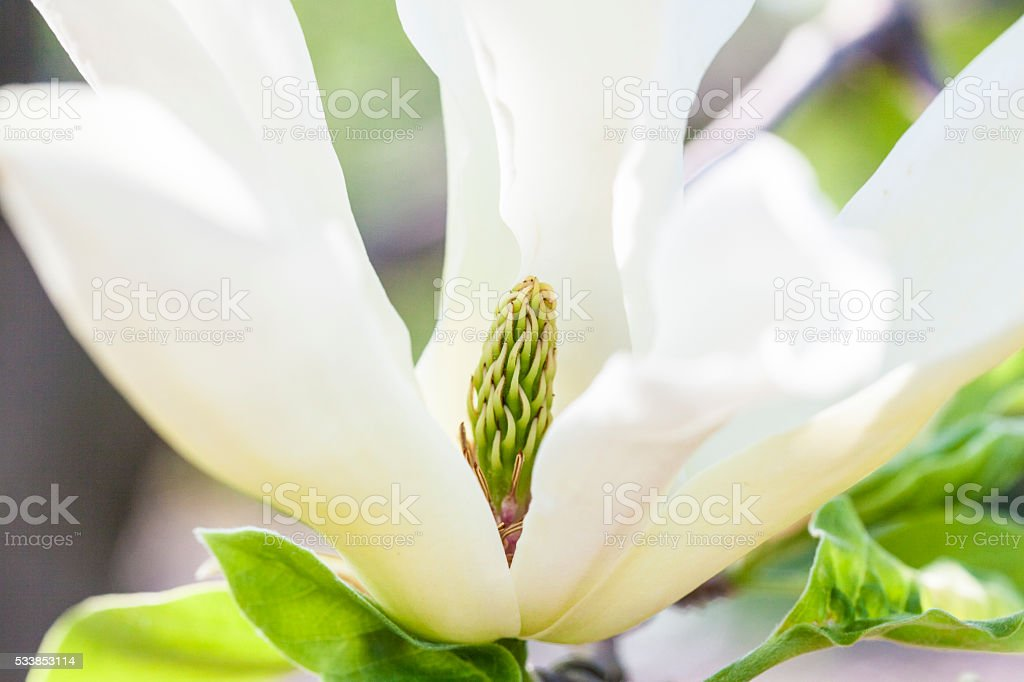 magnolia abstract stock photo