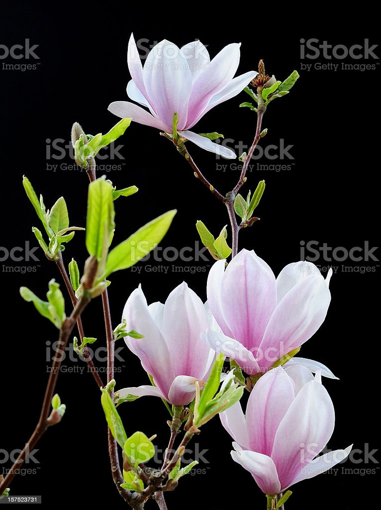 Magnolia against black royalty-free stock photo