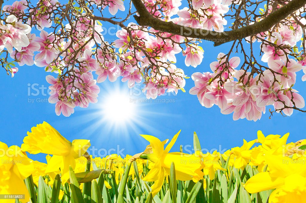 Magnolia and daffodils in spring stock photo