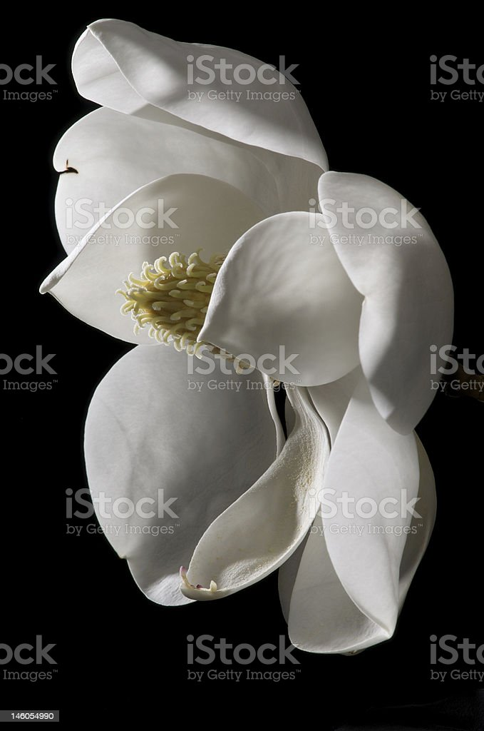 Magnolia Bloom 1 royalty-free stock photo
