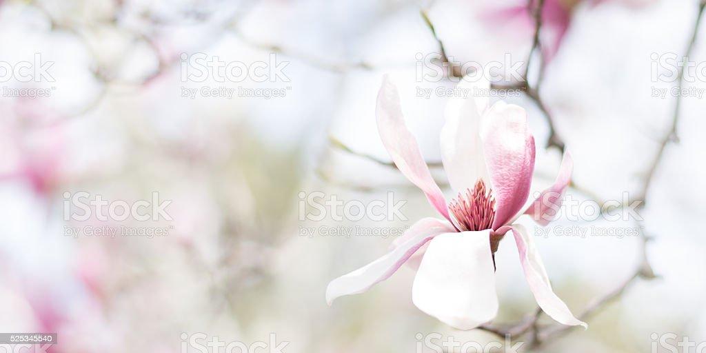 Magnolia Bloom 2 to 1 aspect ratio stock photo