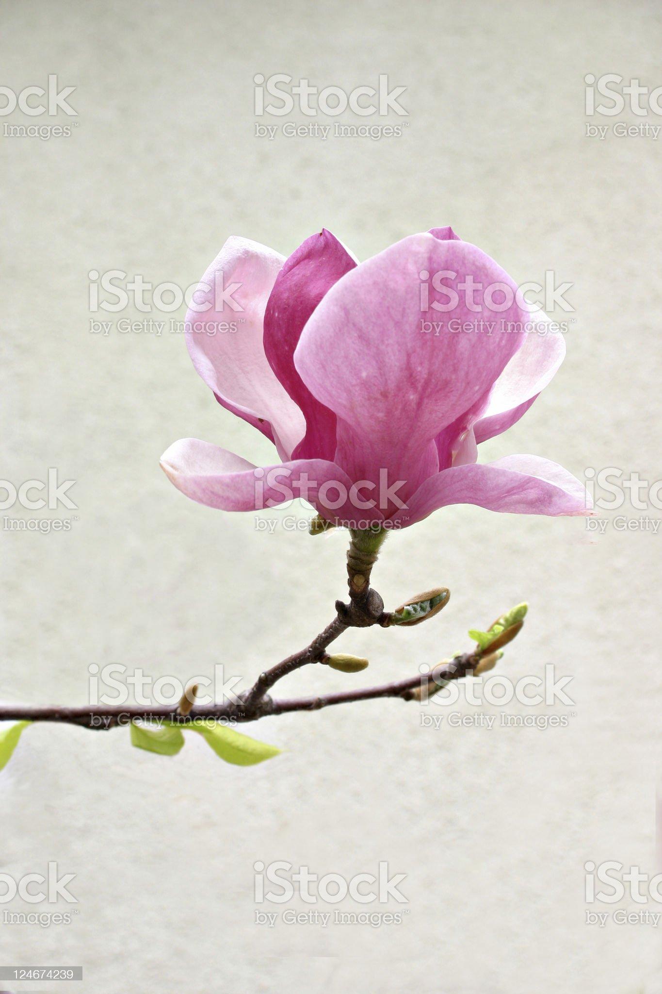 Magnolia bloom royalty-free stock photo