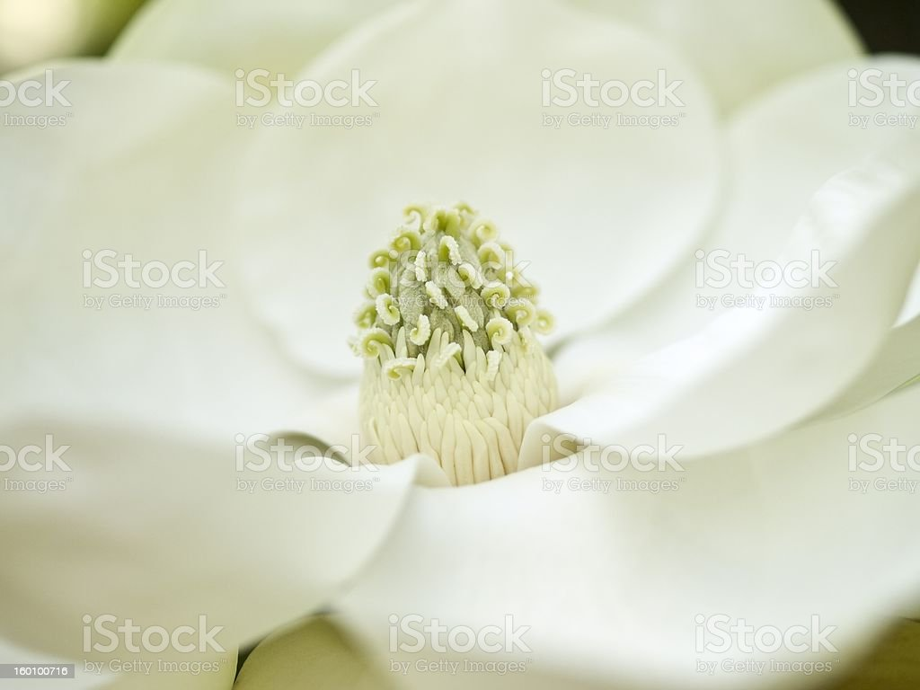 Magnolia bloom royalty-free stock photo