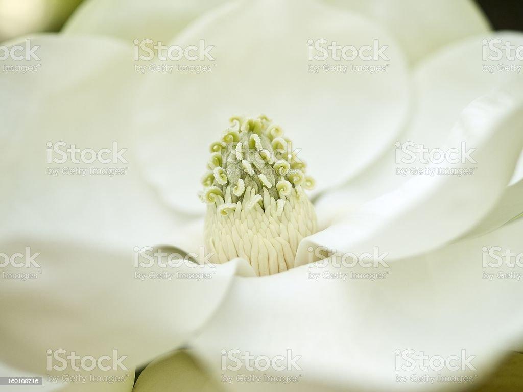 Magnolia bloom stock photo