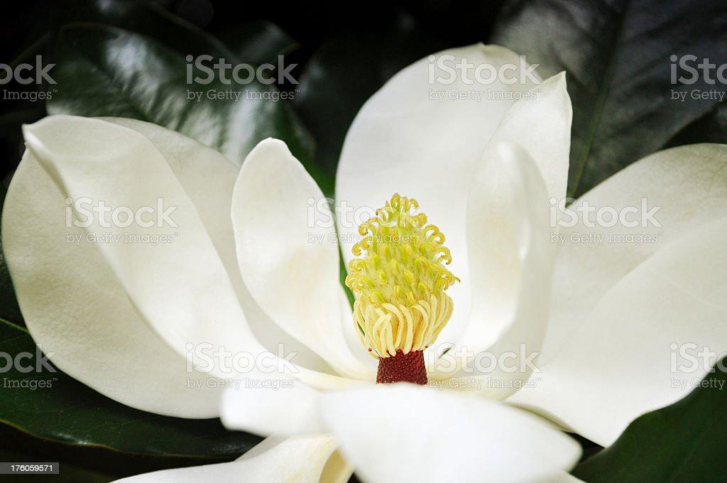 Magnolia bloom, shallow DOF stock photo