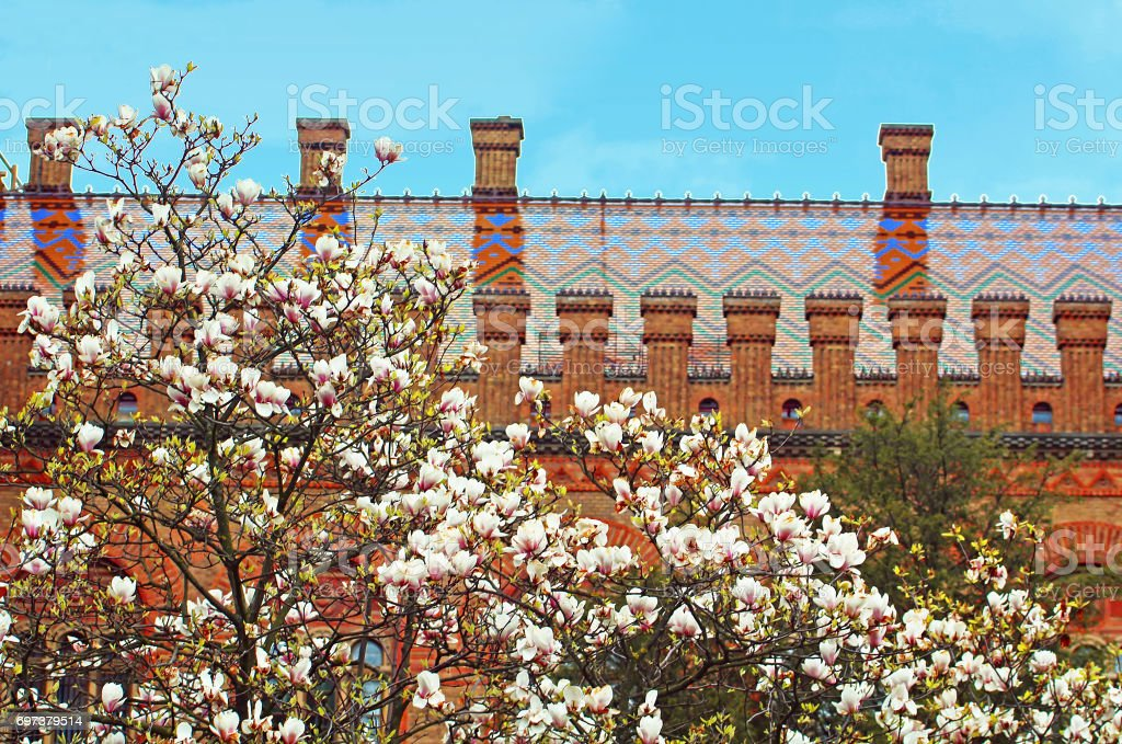 Magnolia blooming and residence of Bukovinian and Dalmatian Metropolitan. Chernovtsi, Europe stock photo
