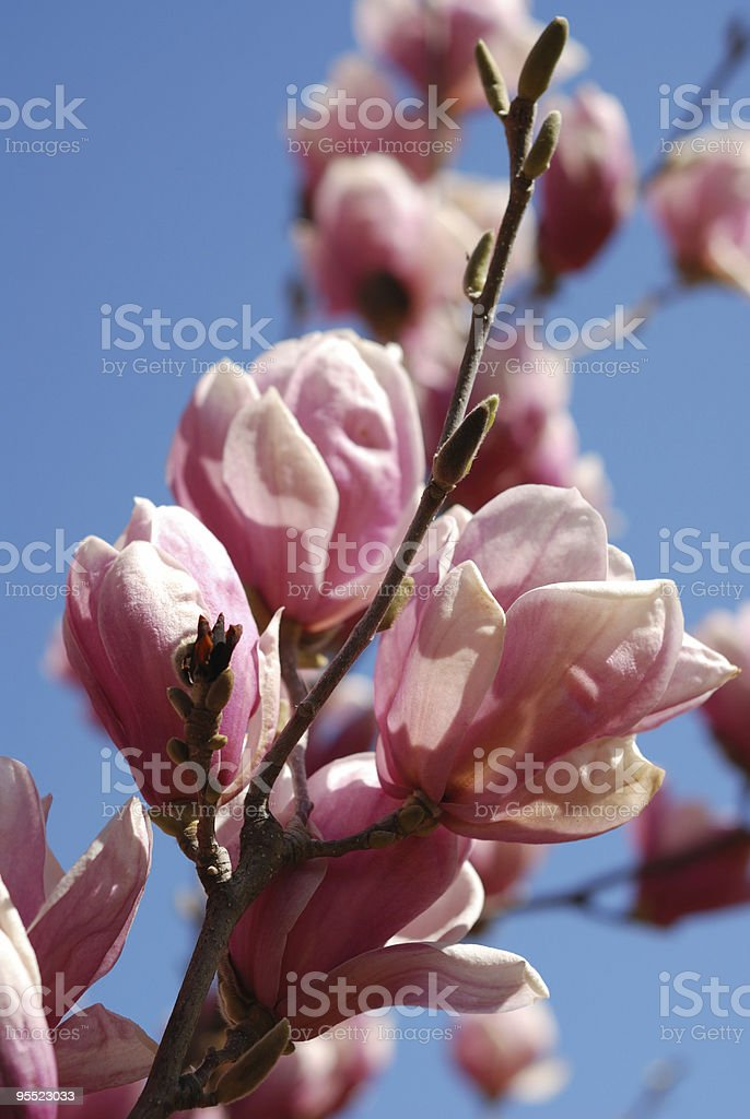 Magnolia blooms royalty-free stock photo