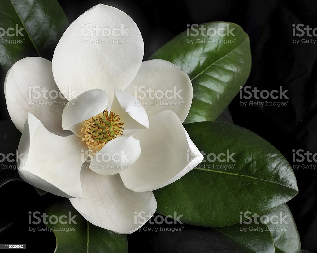 Magnolia Blossom 1 stock photo