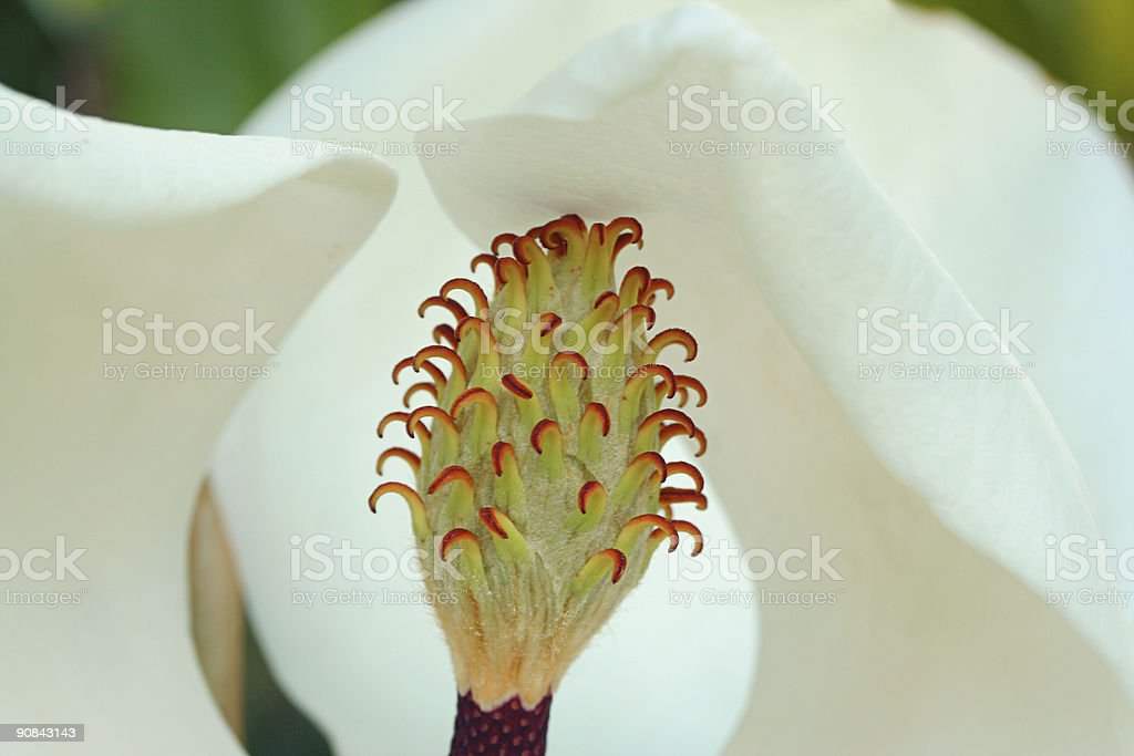 Magnolia Blossom close-up royalty-free stock photo