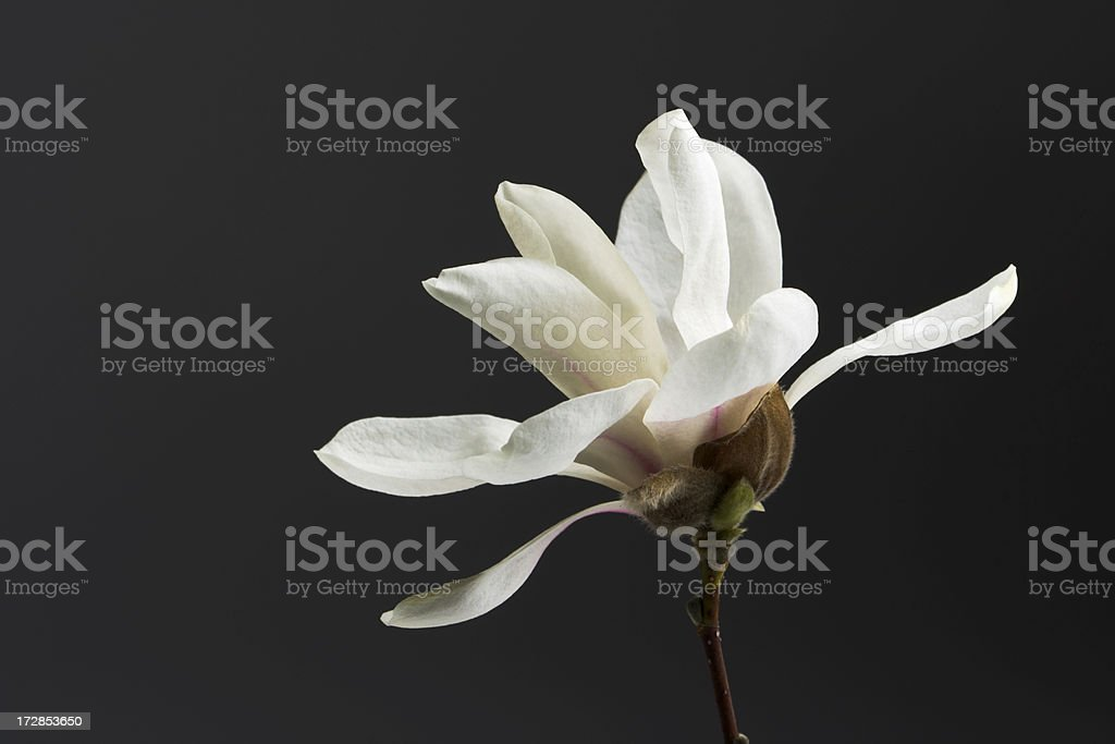 Magnolia Blossom in Spring Hz royalty-free stock photo