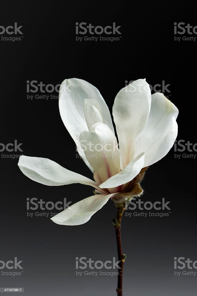 Magnolia Blossom in Spring royalty-free stock photo