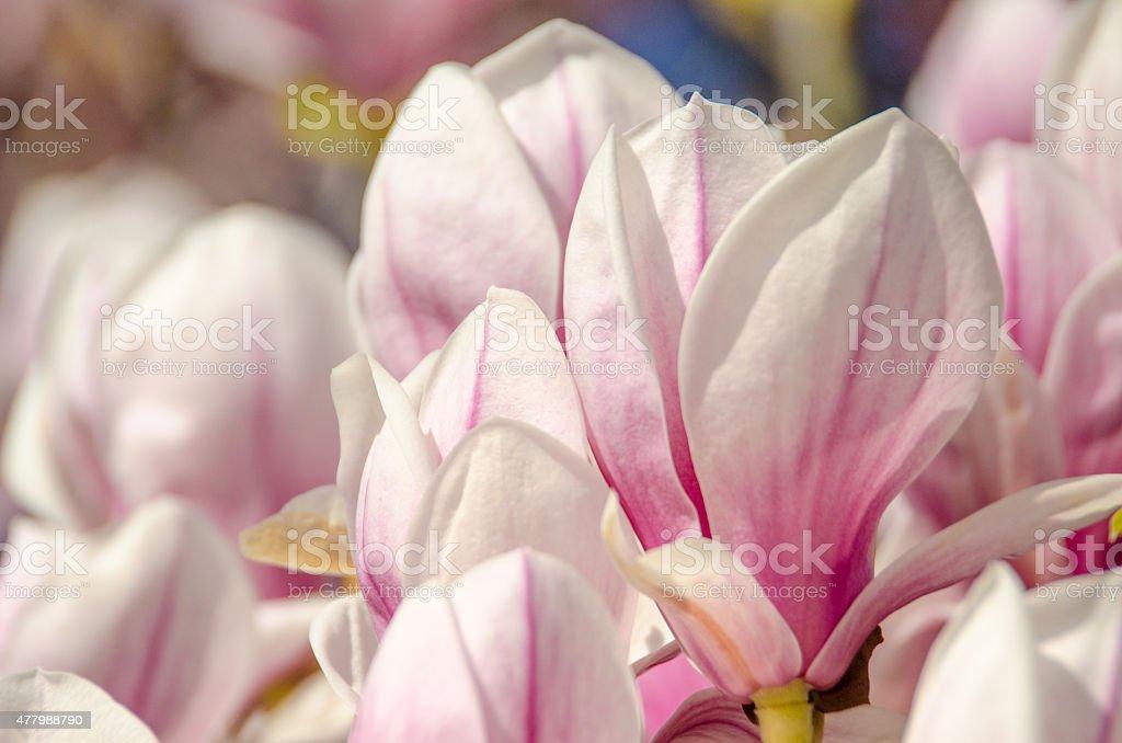 magnolia blossom in spring stock photo