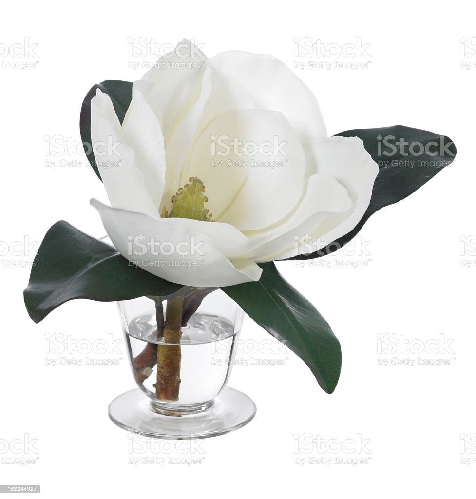 Magnolia Blossom on white background royalty-free stock photo