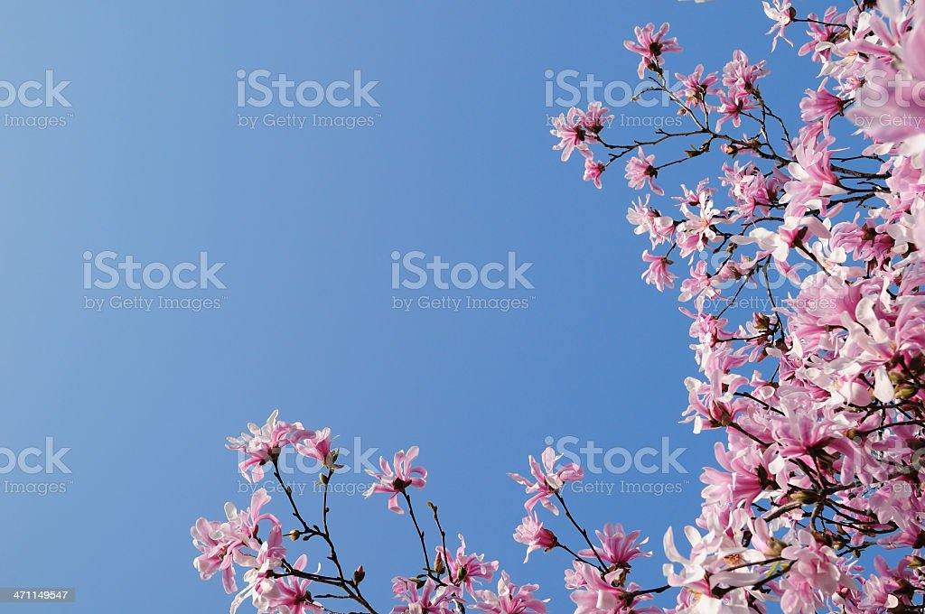 Magnolia blossom royalty-free stock photo