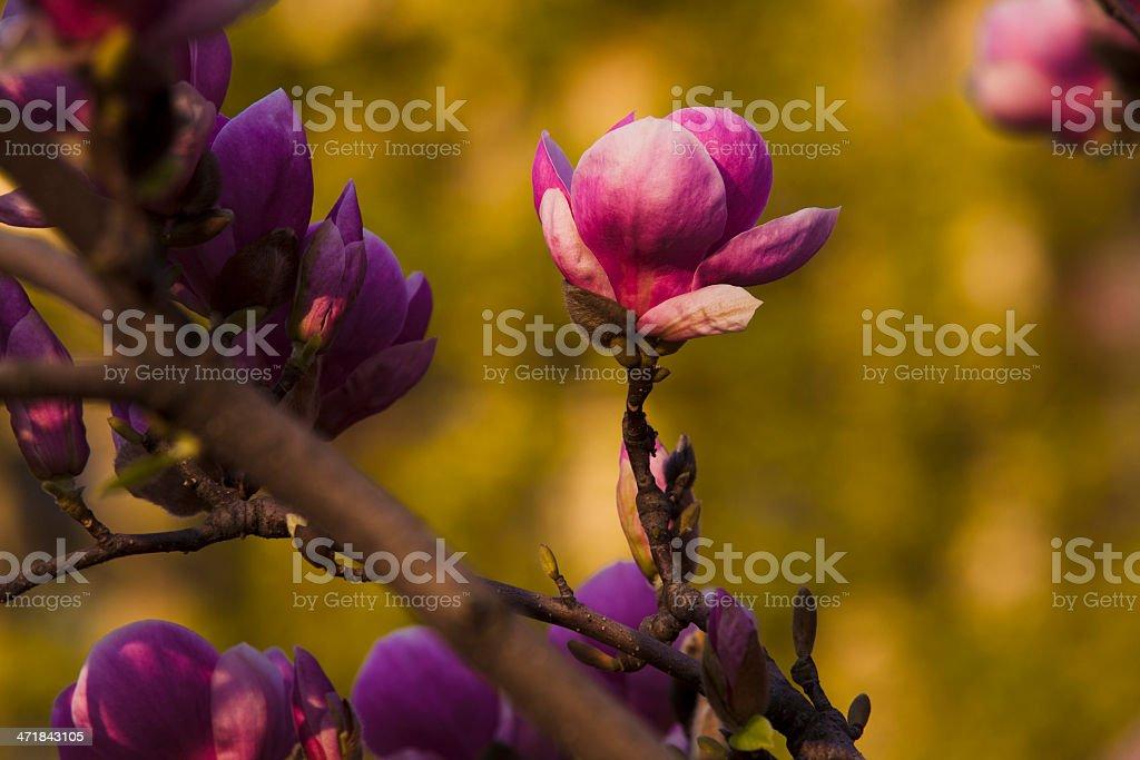 magnolia blossom royalty-free stock photo